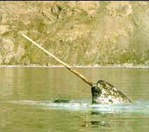 The Majestic Narwhal