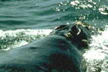 Picutre of Northern Right Whale